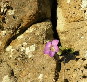 Flower growing out of a rock