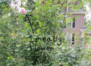 Rosebush with 1 measly flower on it
