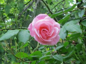 Close-up of the 1 single rose