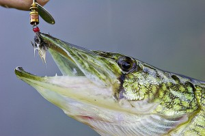 chain pickerel fish
