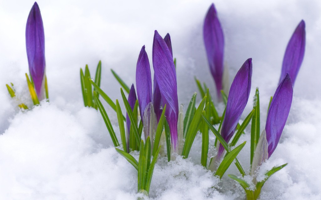 crocuses budding in the snow