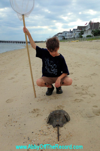 Boy looking at a Horseshoe Crab