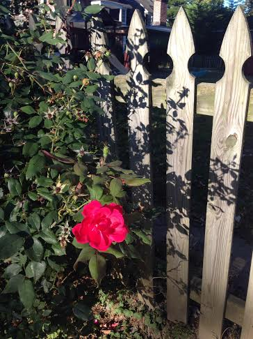 pink rose and wooden fence